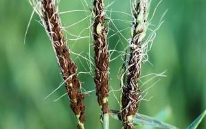 Barley loose smut